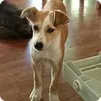 Adopt A Pet :: Cinda - Indian Trail, NC