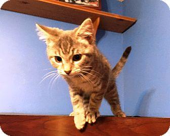 Domestic Shorthair Kitten for adoption in North Wilkesboro, North Carolina - Shania