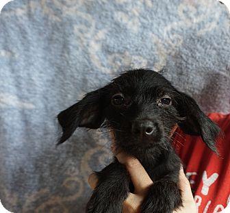 Dachshund/Boykin Spaniel Mix Puppy for adoption in Oviedo, Florida - Ruby