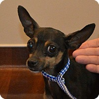 Manchester Terrier Mix Dog for adoption in Rockford, Illinois - Moose