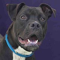 Adopt A Pet :: VICTOR - Downey, CA