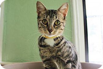 Domestic Shorthair Cat for adoption in Denver, Colorado - Karsyn Pampa Baldwin Watson