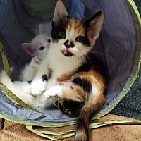 Adopt A Pet :: Marmalade - Lovingston, VA