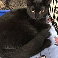 Adopt A Pet :: Mischief - La Canada Flintridge, CA
