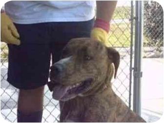 Boxer Mix Dog for adoption in Aledo, Illinois - Jake