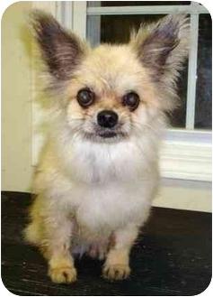 Pomeranian/Chihuahua Mix Dog for adoption in Edwards, Illinois - Gremlin