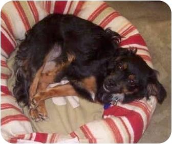 Dachshund/Chihuahua Mix Dog for adoption in Sacramento, California - Flora