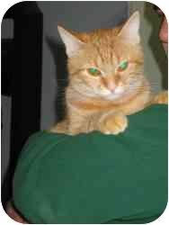 Domestic Longhair Cat for adoption in Warren, Michigan - Angelina