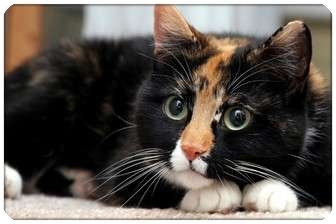 Domestic Shorthair Cat for adoption in Sterling Heights, Michigan - Starling - ADOPTED!