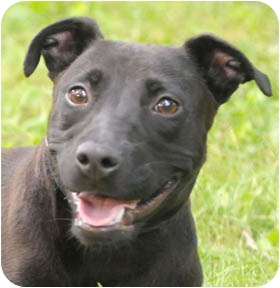 Labrador Retriever/Terrier (Unknown Type, Small) Mix Dog for adoption in Chicago, Illinois - Bella