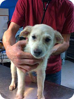 Shepherd (Unknown Type)/Husky Mix Puppy for adoption in Danbury, Connecticut - Ariel