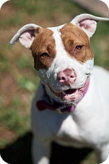 American Bulldog/Terrier (Unknown Type, Medium) Mix Dog for adoption in Miami, Florida - Dory
