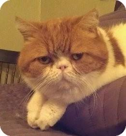 Exotic Cat for adoption in Davis, California - Calvin