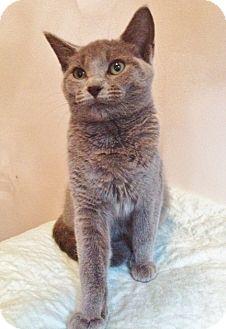Domestic Shorthair Cat for adoption in Byron Center, Michigan - Rain