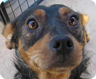 Manchester Terrier/German Shepherd Dog Mix Dog for adoption in Oakley, California - Tawny