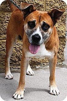 Australian Shepherd/German Shepherd Dog Mix Dog for adoption in Gilbert, Arizona - Claymore