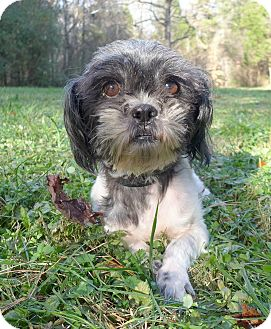 Shih Tzu Mix Dog for adoption in Mocksville, North Carolina - Salem