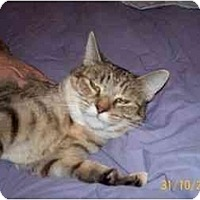 Domestic Shorthair Cat for adoption in Garland, Texas - Brittany