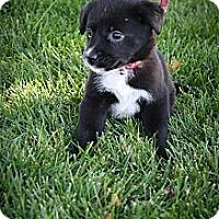 Adopt A Pet :: Kimi - Broomfield, CO
