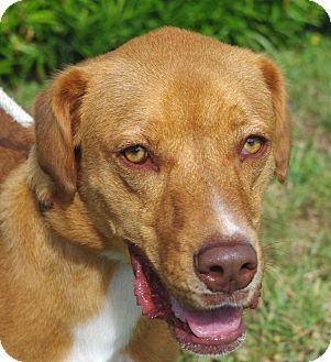 Labrador Retriever Mix Dog for adoption in Daytona Beach, Florida - Shelby
