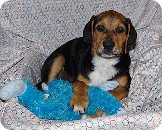 Redbone Coonhound Mix Puppy for adoption in Syracuse, New York - Lumen (CNC)
