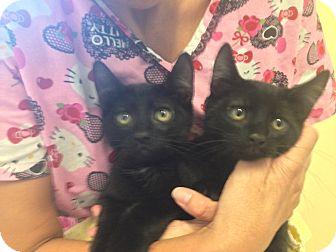 Domestic Shorthair Kitten for adoption in Warwick, Rhode Island - Sammy