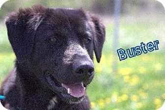 Labrador Retriever Dog for adoption in Lewisburg, West Virginia - Buster