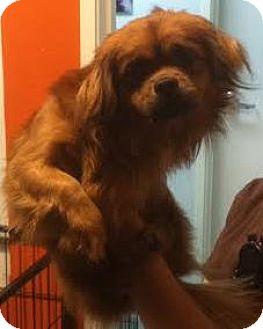 Pekingese/Spaniel (Unknown Type) Mix Dog for adoption in Westminster, California - Jack