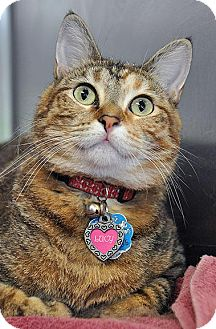 Domestic Shorthair Cat for adoption in Fort Leavenworth, Kansas - Lucy