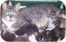 Domestic Shorthair Cat for adoption in West Warwick, Rhode Island - Brandy