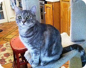 Domestic Mediumhair Cat for adoption in Pasadena, California - Fiona