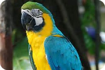 Macaw for adoption in Independence, Kentucky - Patty