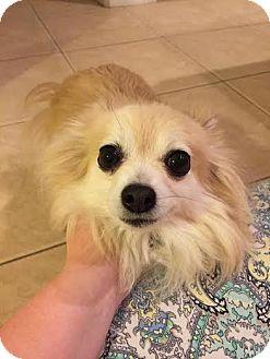 Papillon Mix Dog for adoption in Odessa, Florida - RAFIKE