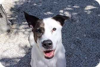 Border Collie Mix Dog for adoption in Homestead, Florida - Spot (courtesy HAH)