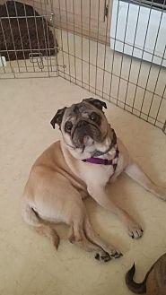 Pug Dog for adoption in Summerfield, North Carolina - 2014-2028 Chopper