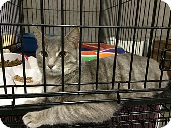 Domestic Shorthair Cat for adoption in Byron Center, Michigan - Alex
