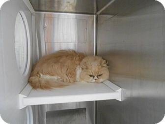 Persian Cat for adoption in THORNHILL, Ontario - Poppy
