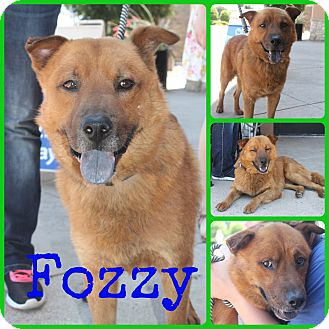 Chow Chow Mix Dog for adoption in Ft Worth, Texas - Fozzy