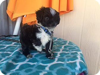 Maltese/Shih Tzu Mix Puppy for adoption in Elk Grove, California - RUSH