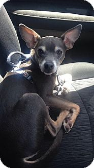 Miniature Pinscher/Chihuahua Mix Dog for adoption in Sanford, North Carolina - Pinto