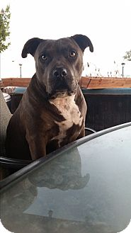American Pit Bull Terrier Mix Dog for adoption in Encino, California - Pookie