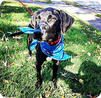 Labrador Retriever Mix Puppy for adoption in Eden Prairie, Minnesota - Rudy