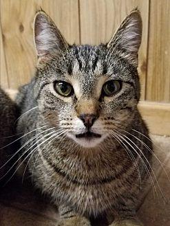 Domestic Shorthair Cat for adoption in Yukon, Oklahoma - Brigot's Sid