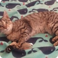 Adopt A Pet :: Snickers - McHenry, IL