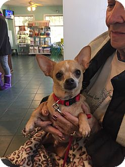 Chihuahua Dog for adoption in Shallotte, North Carolina - Chewy