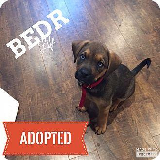 Shepherd (Unknown Type)/Hound (Unknown Type) Mix Puppy for adoption in Regina, Saskatchewan - Reece