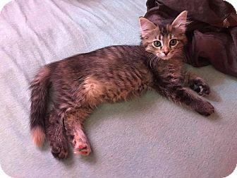 Domestic Shorthair Kitten for adoption in Hinton, Oklahoma - Tawny
