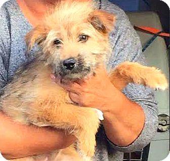 Cairn Terrier/Border Terrier Mix Dog for adoption in Boulder, Colorado - Emerson-ADOPTION PENDING
