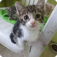 Adopt A Pet :: other kittens - Coos Bay, OR