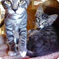 Adopt A Pet :: FELIX - San Francisco, CA